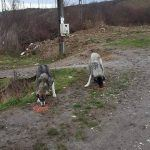 Zigeunerdorf in Rumänien, Fütterung der Straßenhunde