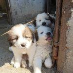 Welpen auf der Farm Rumänien