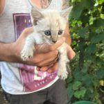 Kitten in Rumänien, Orastie