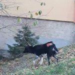 Straßenhund Rumänien Orastie verletzt
